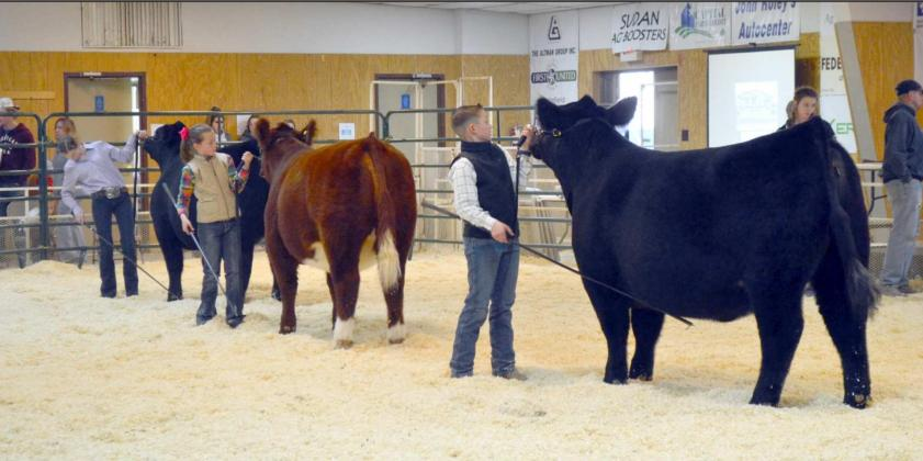 Heifer & Dairy Heifer Championship Drive and Showmanships